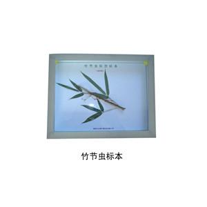 竹节虫标本